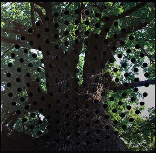 Oak 100